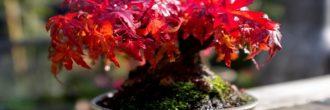 Acer palmatum bonsái