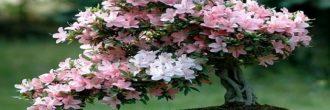 Azalea bonsái