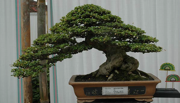 bonsai carmona es de interior o de exterior