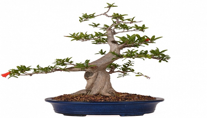 bonsai granado punica granatum