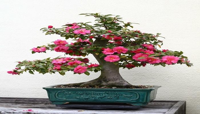 bonsai japones floriado