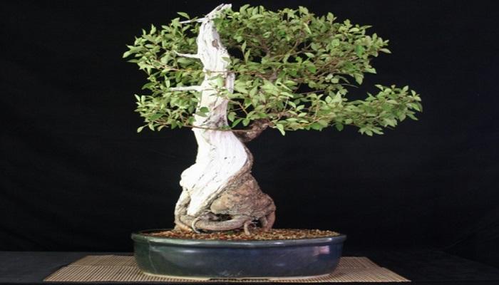 bonsai olmo japones