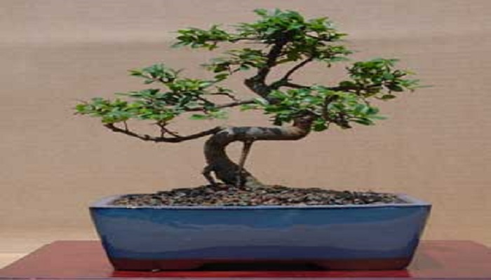 bonsai olmo zelkova