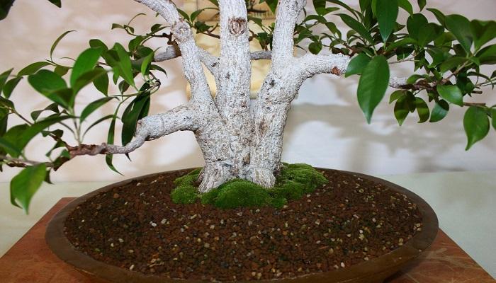caracteristicas del bonsai ficus ginseng