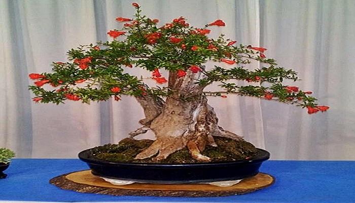 caracteristicas del bonsai granado