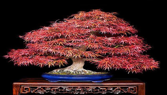 caracteristicas del bonsai japones