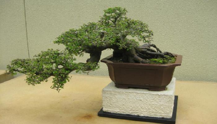 caracteristicas del bonsai olmo