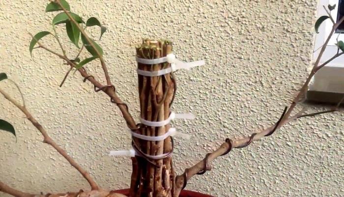 como cablear bonsai ficus ginseng