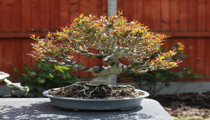 como cuidar el bonsai granado