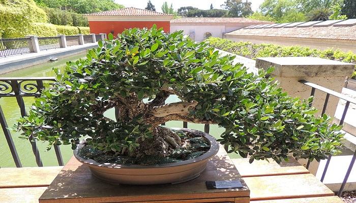como cuidar un acebuche bonsai