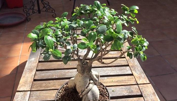 como cuidar un bonsai ficus ginseng