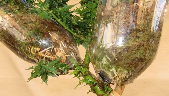 como enraizar un acer palmatum para bonsai