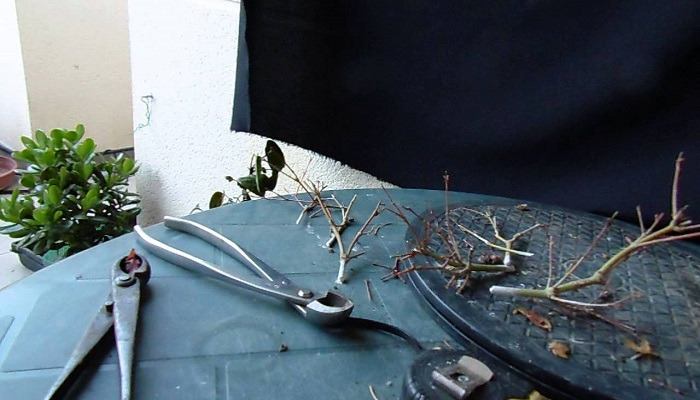 como hacer un acer palmatum bonsai