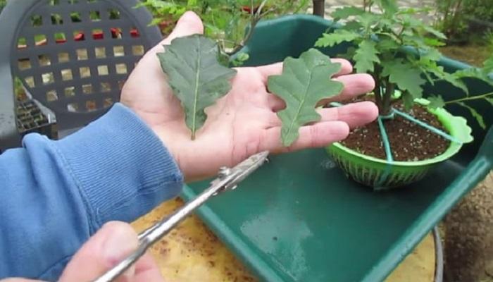 como hacer un bonsai roble