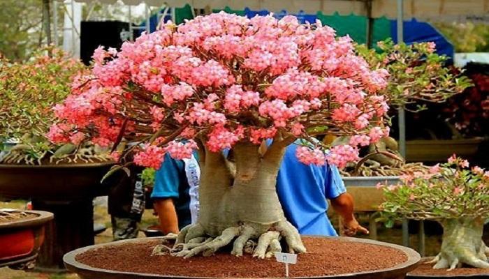 como lucir un bonsai japones hermoso