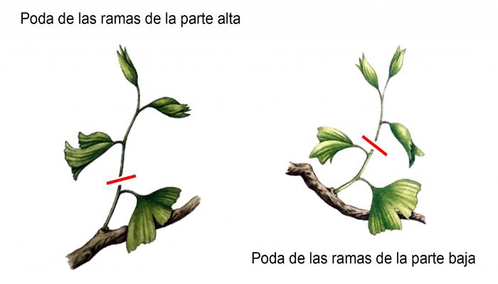 como podar un ginkgo biloba bonsai