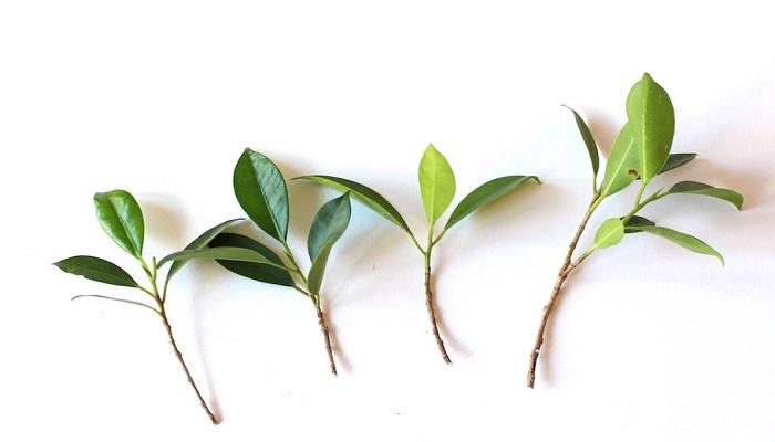 como propagar azalea bonsai