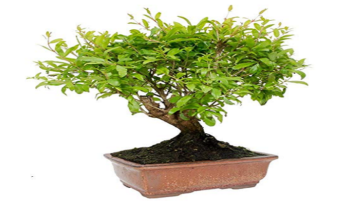 comprar un bonsai granado