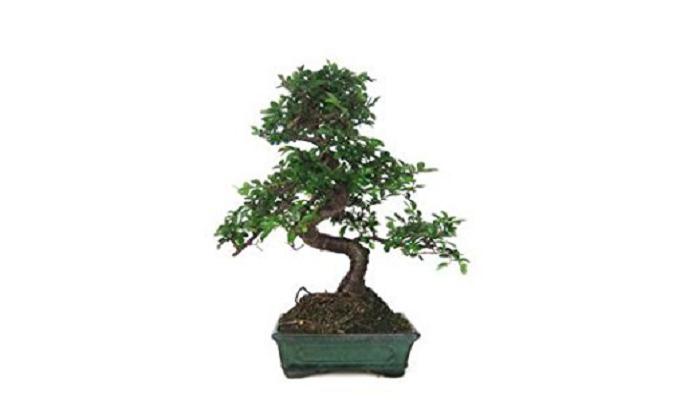 comprar un bonsai olmo