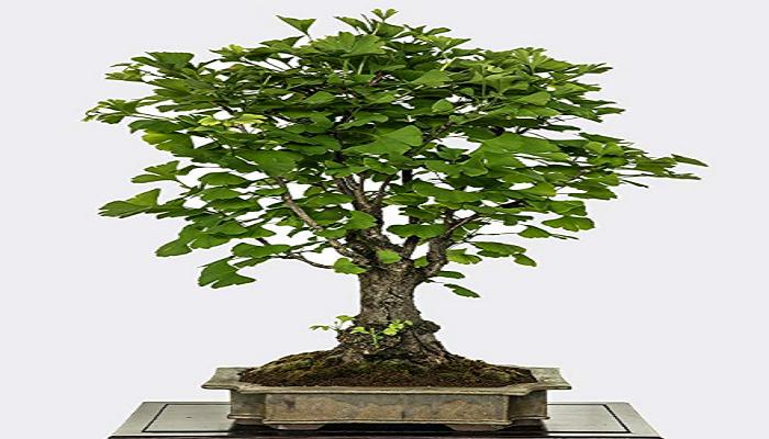 comprar un ginkgo biloba bonsai