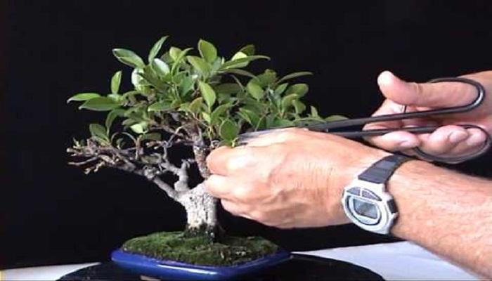 cuando podar bonsai carmona