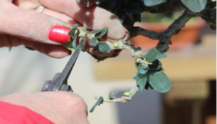 cuando podar un acebuche bonsai