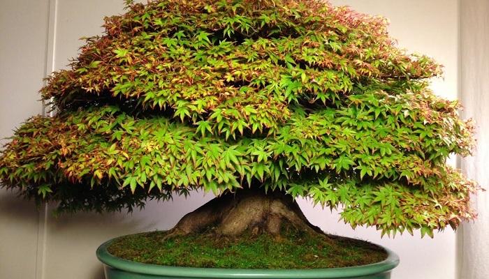 cuidados de acer palmatum bonsai