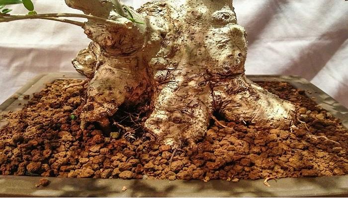 cuidados del acebuche bonsai
