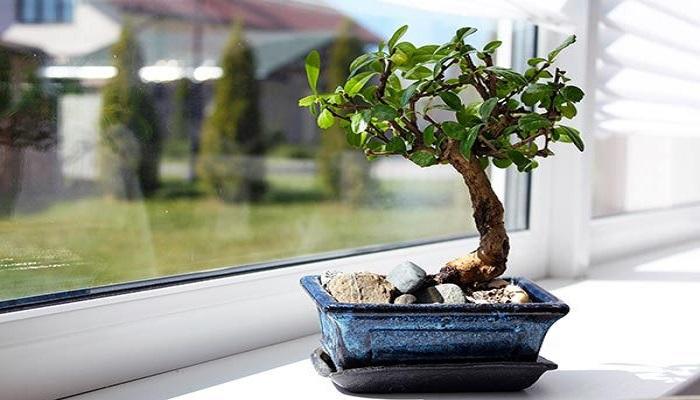 cuidados del azalea bonsai