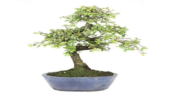 donde comprar bonsai japones