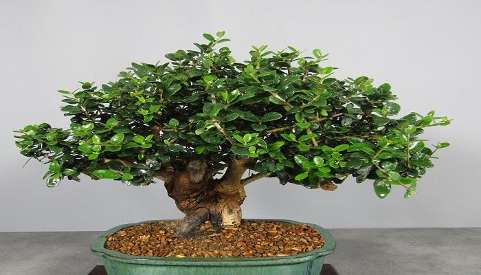 donde comprar un acebuche bonsai