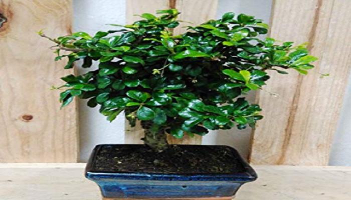 donde comprar un bonsai carmona