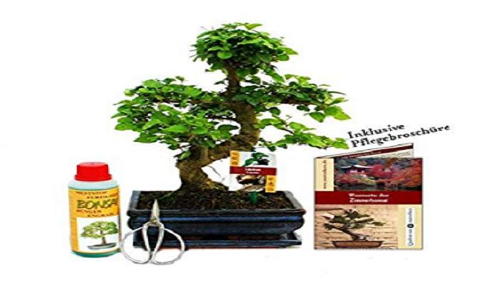 donde comprar un bonsai ligustrum