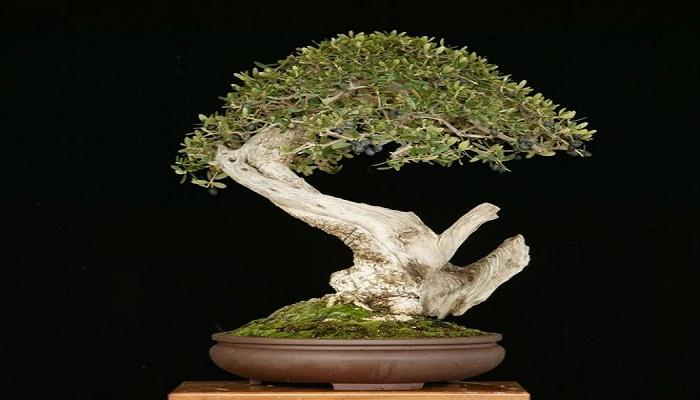 el acebuche bonsai