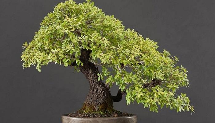 el bonsai encina