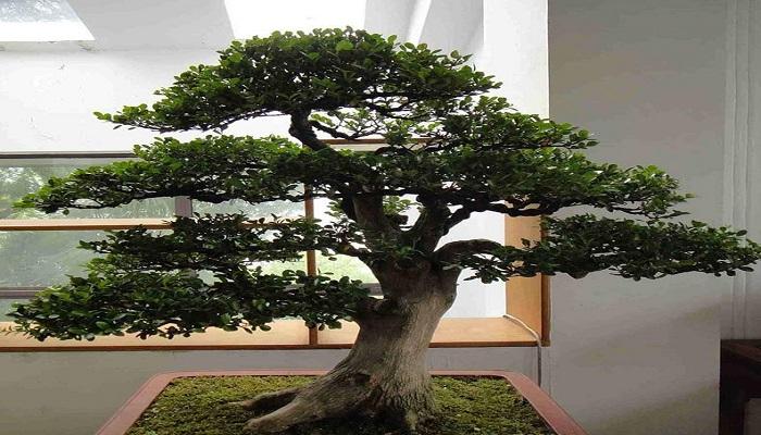 el bonsai ficus ginseng
