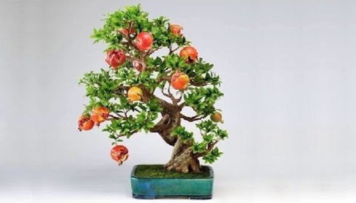 el bonsai granado