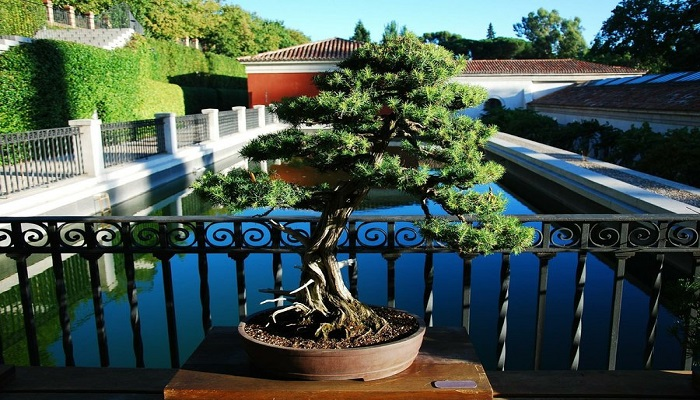 el bonsai japones