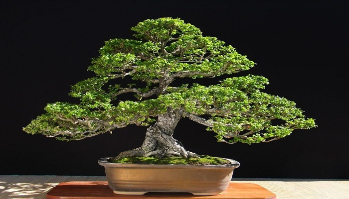 el bonsai olmo