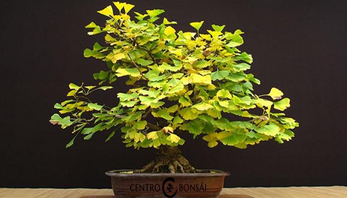 el ginkgo biloba bonsai