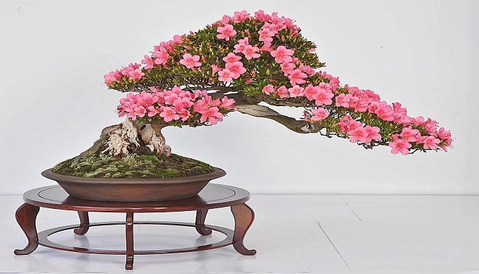 estilos de azalea en bonsai