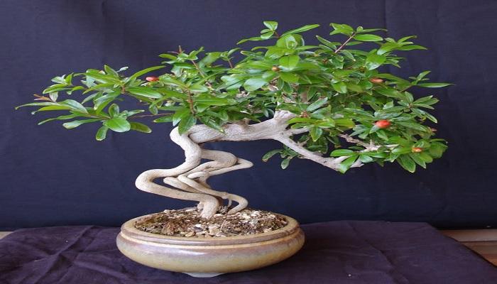 estilos de bonsai granado