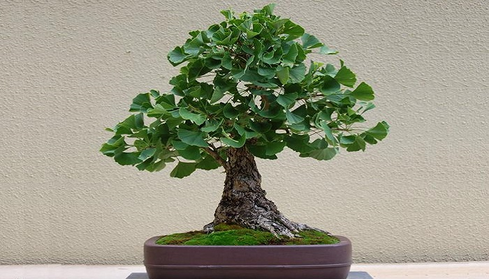 estilos de ginkgo biloba bonsai