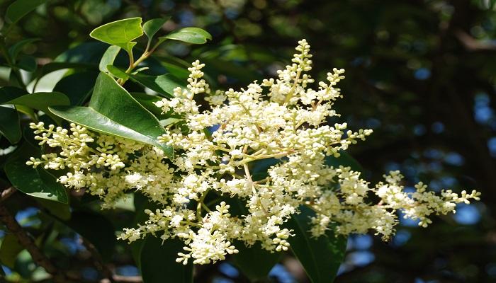 flores de ligustrum para bonsai