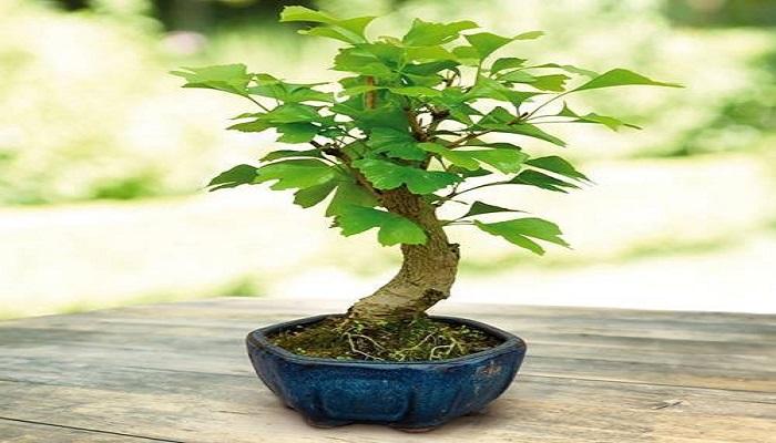 ginkgo biloba bonsai achat