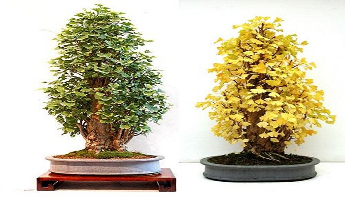 ginkgo biloba bonsai cuidados y calidad