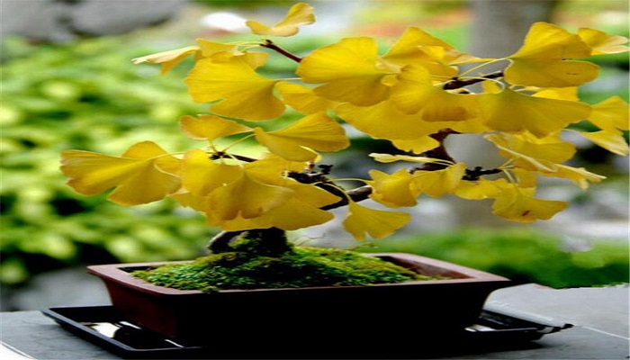 ginkgo biloba bonsai cuidados