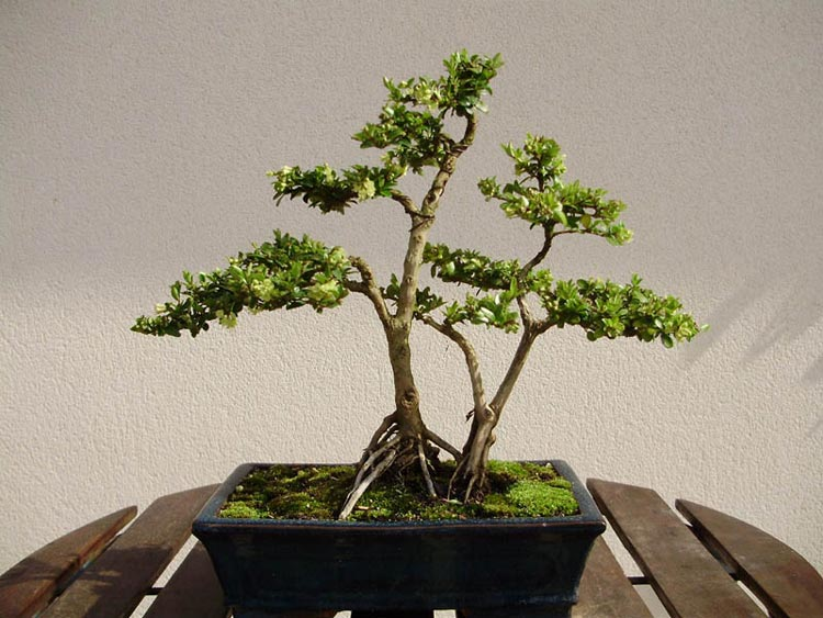 hacer un bonsai carmona paso a paso