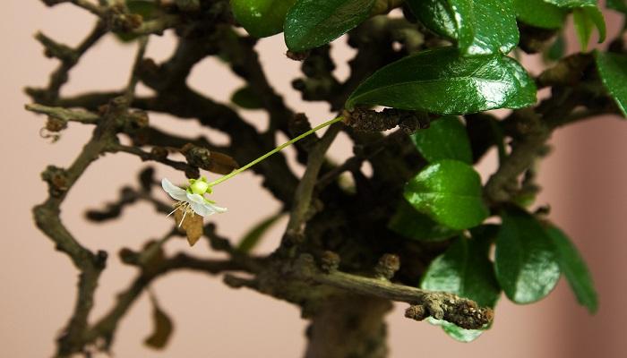 hojas de bonsai carmona