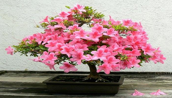 la azalea bonsai